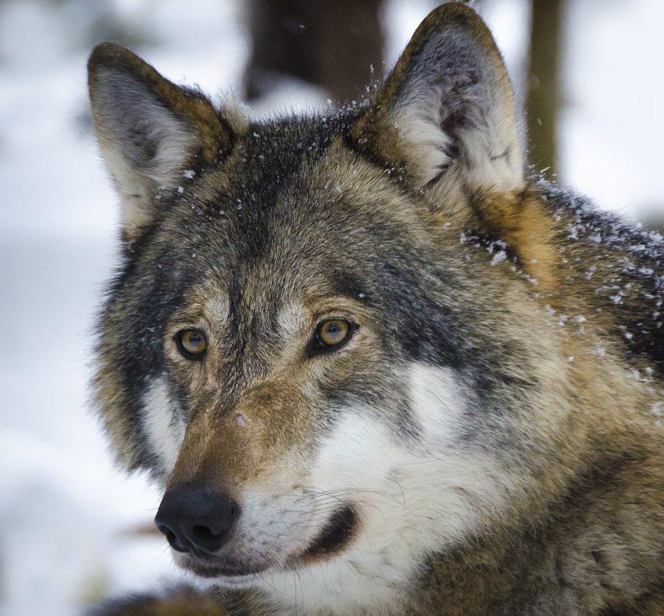 Nordland Wolf