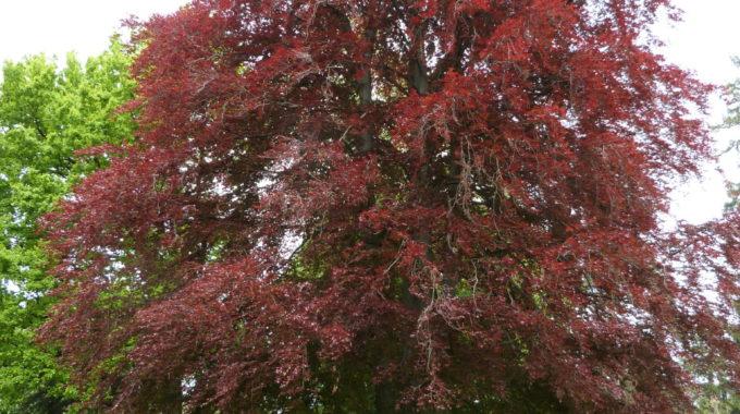 Blood Beech Tree