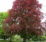 Blood Beech Tree